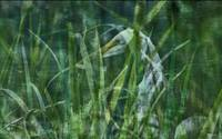 Secretive Egret