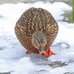 """""""Chunky Ducky"""" by shelshots"""