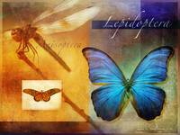 lepidoptera, anisoptera, butterfly and dragonfly