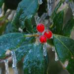 """Holly Berries on Ice"" by snarkphoto"