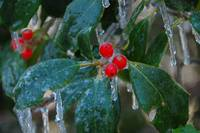 Holly Berries on Ice