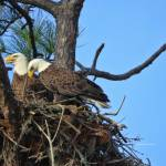 """Nesting Bald Eagles 2016"" by DBenoit"