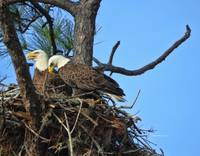 Nesting Bald Eagles 2016
