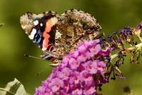 Red Admiral - Vanessa Atalanta - Underside of Wing