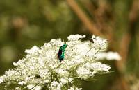 Solitary Bee on Queen Anne's Lace Flower