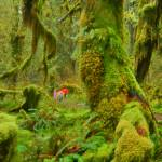 """Seeing the Hoh Rain Forest in a dream"" by JohnChaoPhoto"