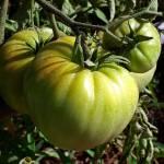 """Tomatoes"" by gavila"