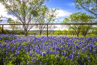 Bluebonnet Bliss on the Willow City Loop
