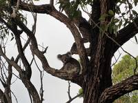 Koala on a gum tree at Nelson Bay beach