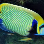 """EmperorAngelfishWithCleanerWrasse20-DEC-2005mm28f8"" by JoaoPonces"