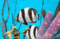 Banded Butterflyfish Among Sponges