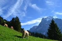 Cows with Mountain 2