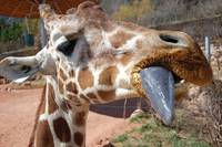 Giraffe coming in for a Kiss