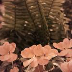 """Pastel Pink Flowers and Ferns Subdued"" by almarphotography"