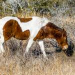 """Wild Assateague Horse"" by WildAboutNaturePhotography"