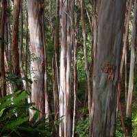 Eucalyptus Forest Art Prints & Posters by Joel Carlson