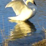 """swan 5 b"" by janetharper"