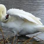 """swan 8 b"" by janetharper"