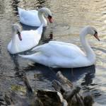 """swan 13 b"" by janetharper"