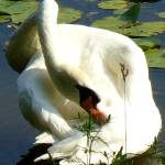 """swan 16 b"" by janetharper"