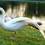 """swan 23 b"" by janetharper"