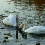 """swan 24 b"" by janetharper"