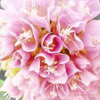 Pretty in Pink Art Prints & Posters by John Corney