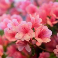 Pink Flowers Art Prints & Posters by LD Franklin