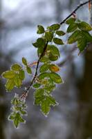 Frosted Leaves Hip