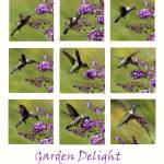 """Hummingbird collage Garden 2016_IMG_1077-87"" by KsWorldArt"