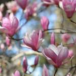 """Saucer magnolia perspective"" by Groecar"