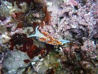 Nudibranch_Opalescent