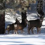 """""""Whitetail Deer in The Forest"""" by vpicks"""