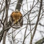 """Red-shouldered Hawk"" by WildAboutNaturePhotography"