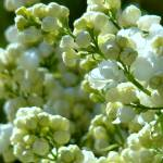 """White Lilac"" by PilgrimHill"