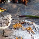 """""""Beach Bird"""" by ralphnelsen"""