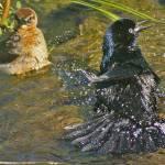 """""""Birdbath Buddies"""" by ralphnelsen"""