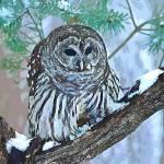 """""""owl bird art print"""" by rogueart"""