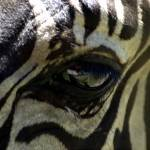 """zebra wild animal"" by rogueart"