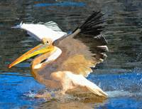 Pelican Animal Bird Art