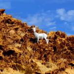 """Mountain Goat P1020020"" by almarphotography"