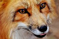 Red Fox Wildlife Portrait - Rogue Art