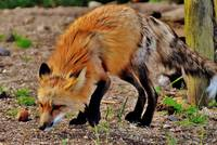 Red Fox Animal Print