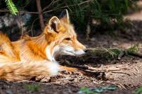 Red Fox Wildlife Wall Print