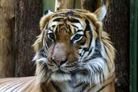 Tiger Wildlife Portrait