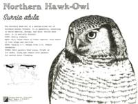 Northern Hawk-Owl: Infographic Poster