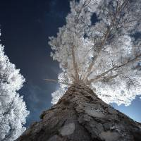 Infrared Tree Art Prints & Posters by LD Franklin