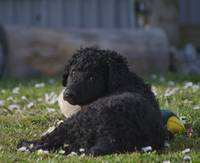 curly coated retriever puppy 3