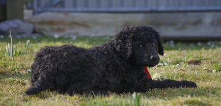 curly coated retriever puppy 2