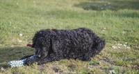curly coated retriever puppy 1